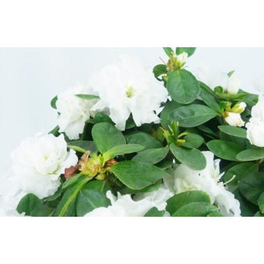 Agitateur Floral | Azalée blanche avec décoration zoom fleurs