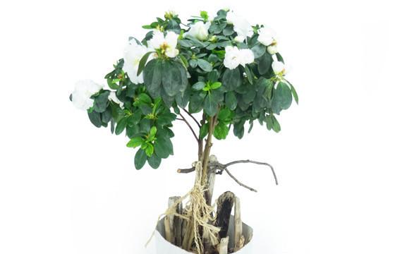 Agitateur Floral | Azalée sur tige blanche décorée zoom