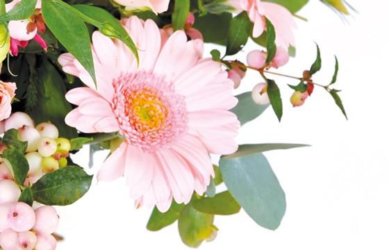 zoom sur un magnifique germini de couleur rose