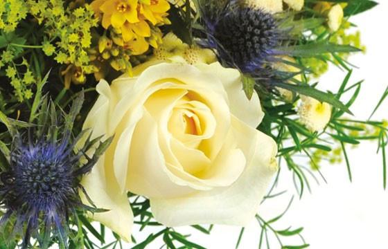 Zoom sur une rose blanche