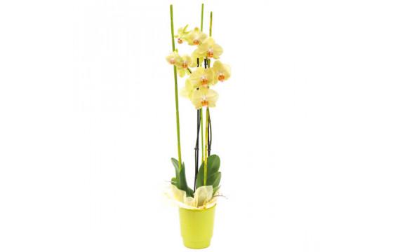 L'Agitateur Floral  image de l'orchidée jaune Intensité