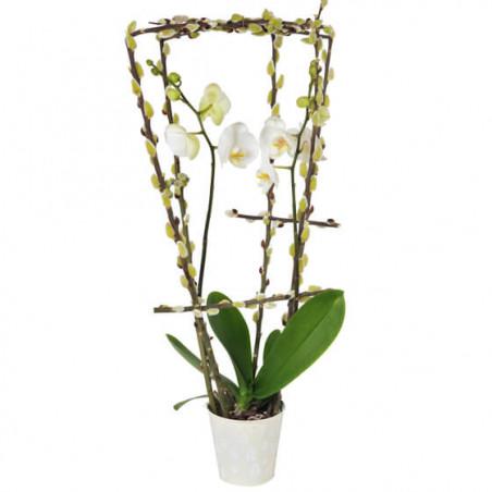 L'Agitateur Floral | image de l'orchidée phalaenopsis blanche double branche du nom de L'Impératrice Cymbi