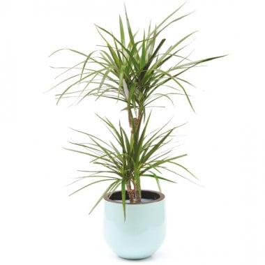 L'Agitateur Floral | image de la plante Dracaena