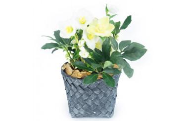 L'Agitateur Floral |Image de Hellébore la rose de Noël