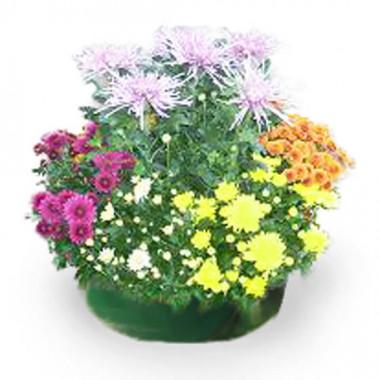L'Agitateur Floral | Image principale coupe de chrysanthème toussaint