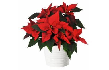 L'Agitateur Floral |image du Poinsettia rouge en fleurs
