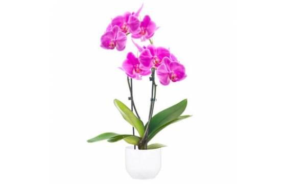 L'Agitateur Floral | image de l'Orchidée Double Branche Rose Mauve