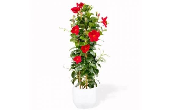 L'Agitateur Floral | image d'un magnifique Dipladenia Rouge