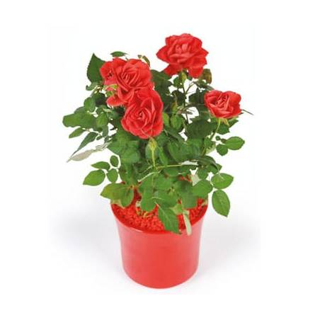 L'Agitateur Floral | image d'un rosier rouge - livraison plante saison
