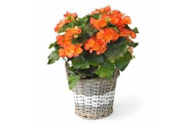 L'Agitateur Floral | image d'un bégonia orange - livraison fleurs saison