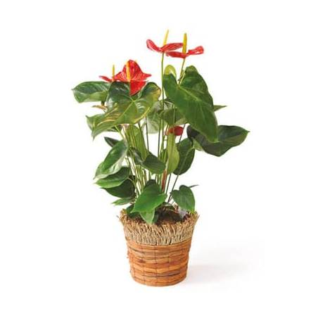 L'Agitateur Floral | image de la plante dépolluante, un anthurium