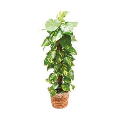 L'Agitateur Floral | image de la plante verte et d'intérieur Athos le Pothos
