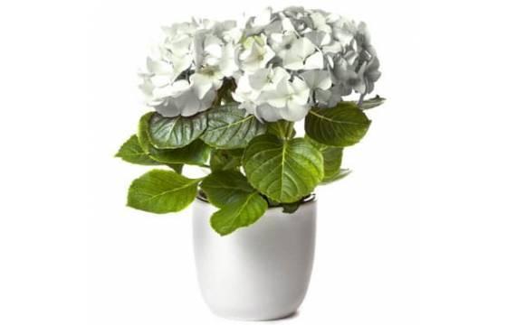 L'Agitateur Floral | image d'un magnifique Hortensia Blanc à faire livrer par un fleuriste