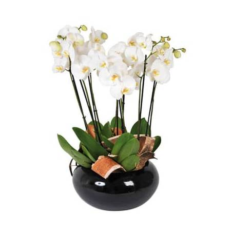 L'Agitateur Floral | image de la coupe d'orchidées blanches Dolly