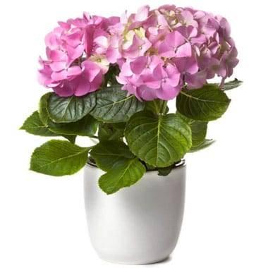 L'Agitateur Floral | image d'une magnifique Hortensia Rose
