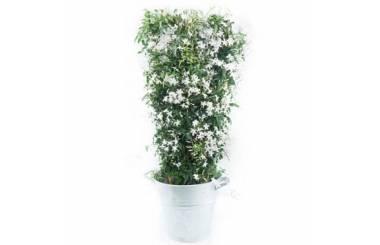 L'Agitateur Floral | Image du jasmin en fleurs photo principale