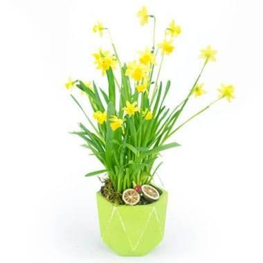 L'Agitateur Floral | image de la composition de Jonquilles en Pot