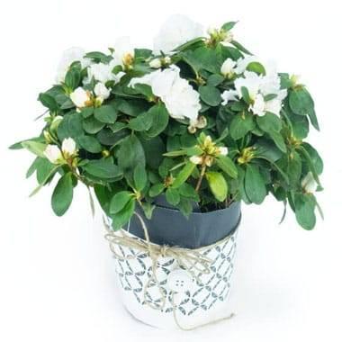 Agitateur Floral | Azalée blanche avec décoration
