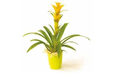 L'Agitateur Floral | image de la plante verte et fleurie Nana le guzmania
