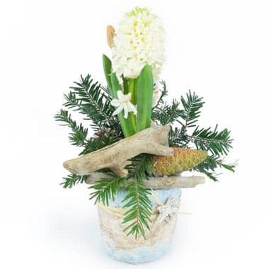 L'Agitateur Floral | image de la Jacinthe blanche en pot du nom de Pomme & Jacinthe