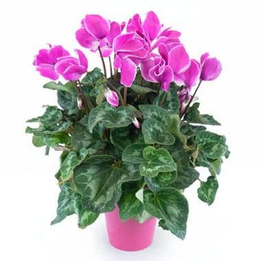 Agitateur Floral | Plante d'extérieur cyclamen rose