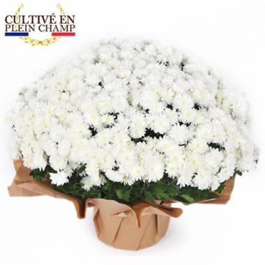 L'Agitateur Floral | image de la plante blanche pour la toussaint - Chrysanthème Multifleurs Blanc