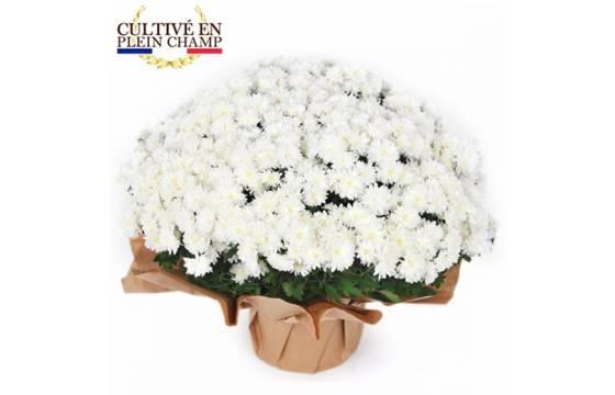 L'Agitateur Floral   image de la plante blanche pour la toussaint - Chrysanthème Multifleurs Blanc