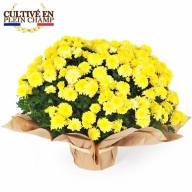 L'Agitateur Floral | Image principale Chrysanthème multifleurs jaune