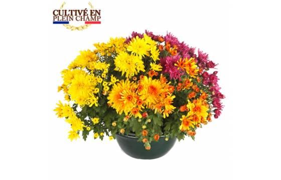 L'Agitateur Floral |Coupe de chrysanthème aux fleurs jaune orange et rose