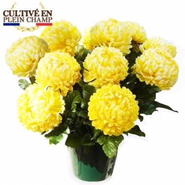 L'Agitateur Floral | Image principale Chrysanthème boule jaune