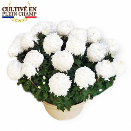 Agitateur Floral, Image chrysanthème Boule Blanc