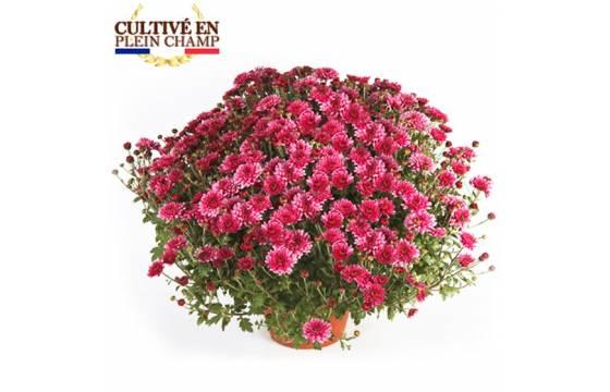L'Agitateur Floral |Chrysanthème multifleurs de couleur parme