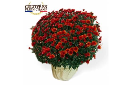 L'Agitateur Floral |Image du Chrysanthème Multifleurs Rouge Orange