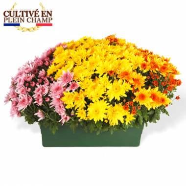 L'Agitateur Floral |Jardinière de Chrysanthèmes tons jaune orange et rose