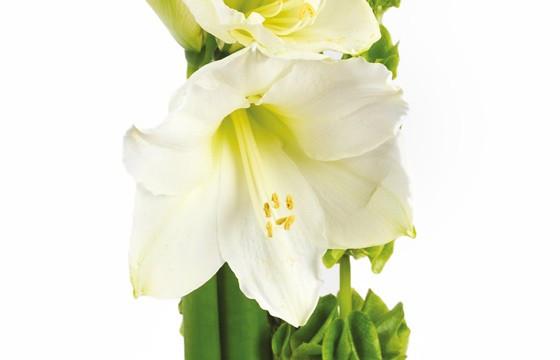 L'Agitateur Floral |Composition florale chic : zoom amarylis blanc