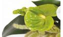 vue sur un anthurium de couleur verte