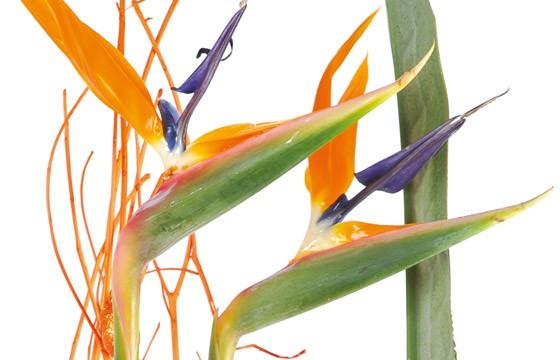L'Agitateur Floral |vue sur les oiseaux du paradis appelé stelitzia