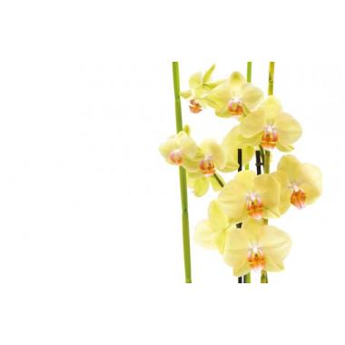 zoom sur les orchidées jaune