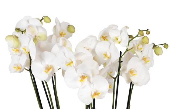 vue sur les fleurons d'orchidées blanches