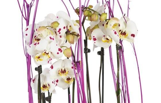 vue sur les orchidée blanches à coeurs rose