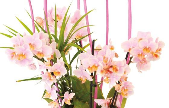 zoom sur les minis Orchidées roses Sweety