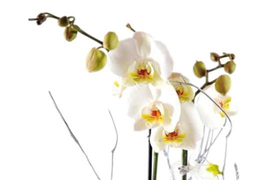 L'Agitateur Floral |zoom sur l'orchidée blanche double branche
