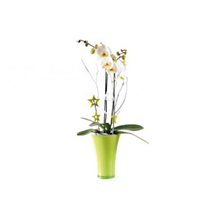 image de l'Orchidée blanche double branche