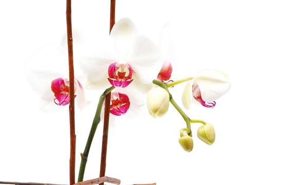 zoom sur une tige d'orchidée phalaenopsis blanche