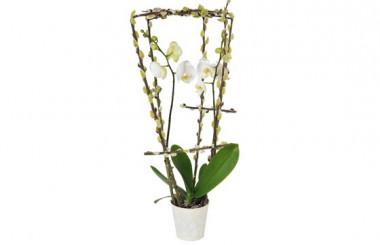 image de l'orchidée phalaenopsis blanche double branche du nom de L'Impératrice Cymbi