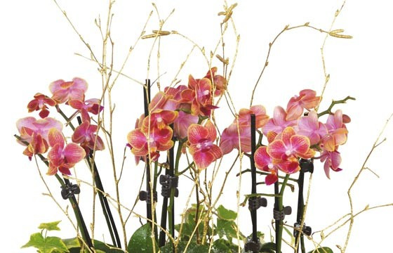 zoom sur les minis orchidées de couleur mauves