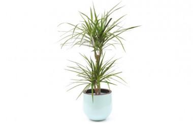 image de la plante Dracaena