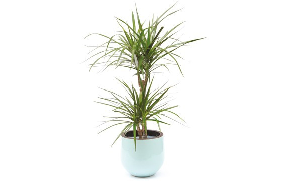 plante verte d 39 int rieur dracaena livraison par un fleuriste 7j 7 en 4h l 39 agitateur floral. Black Bedroom Furniture Sets. Home Design Ideas
