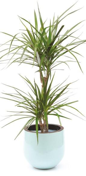 achat plante interieur plante d 39 int rieur yucca 2 troncs pot blanc vente tuteur pour. Black Bedroom Furniture Sets. Home Design Ideas
