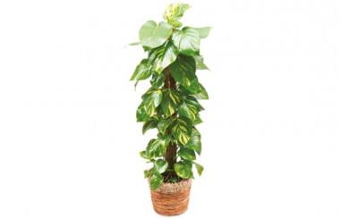 image de la plante verte et d'intérieur Athos le Pothos
